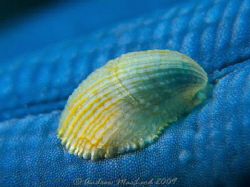 A shell on a starfish arm. Canon G10, Inon s2000 strobe, ... by Andrew Macleod 